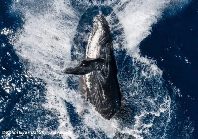 Drone Image - Whale Breach